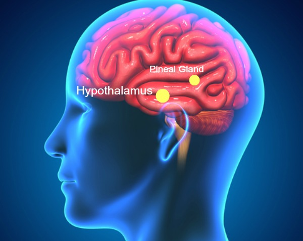 Hypothalamus-and-pineal-gland