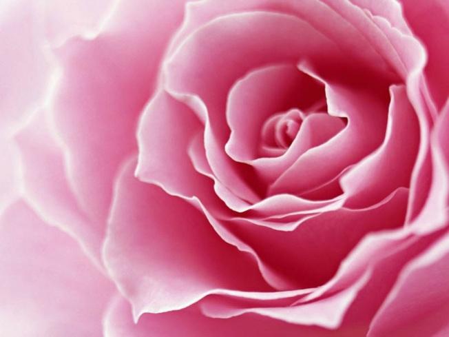 Rosa Rosa.jpg